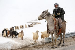 Van, TurkeyA man rides a donkey as he leads the way to a sheep flock as the snow falls in Gurpinar District