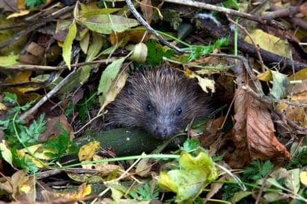 European hedgehog in garden