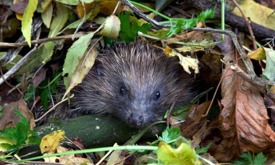 Ready for your closeup … a hedgehog.