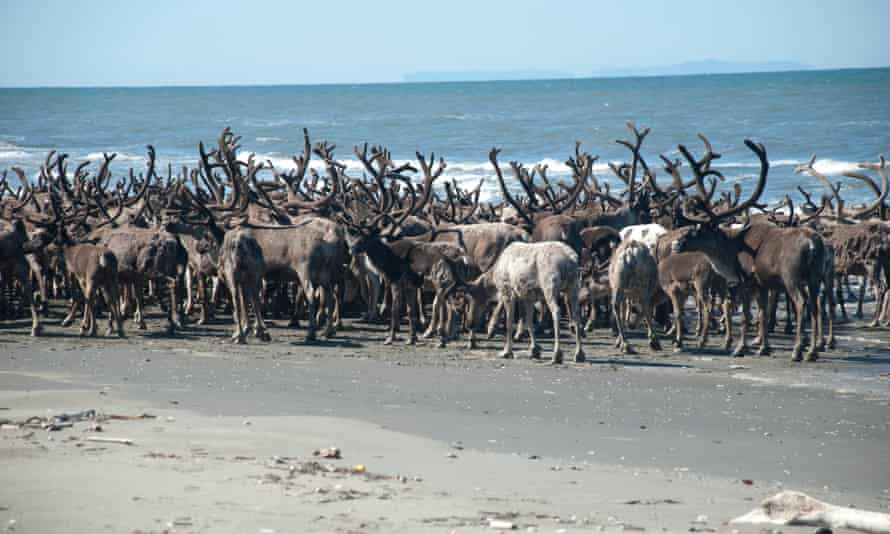 Reindeer travel across the beach at Ikpek lagoon