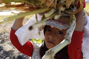 Amran province, YemenA girl carries sorghum stalks during the sorghum harvest season