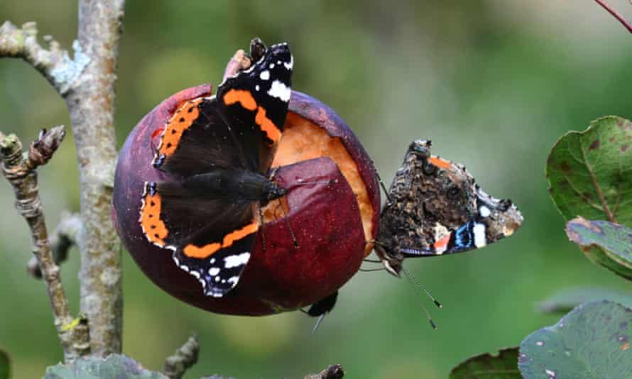 red admiral butterflies on decaying apple in autumn