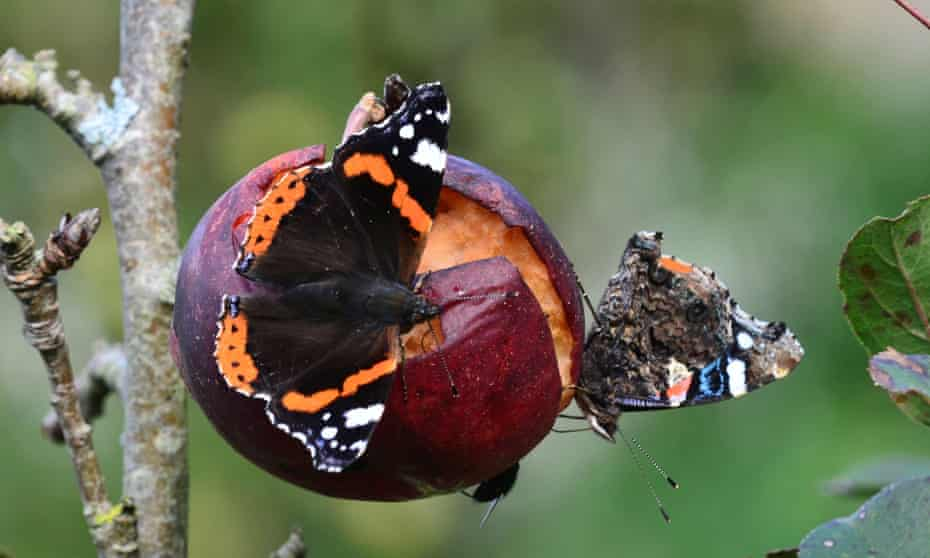 Red admiral butterflies on decaying apple in autumn.