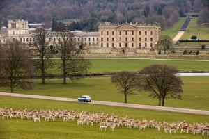 Fallow deer roam the grounds of Chatsworth House