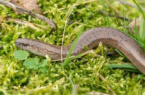 A male slow worm basking on moss