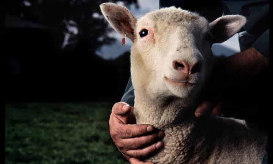 Dolly the sheep in 1997, the year after she was cloned by the Roslin Institute.