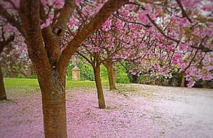 Fallen cherry blossoms carpet the ground