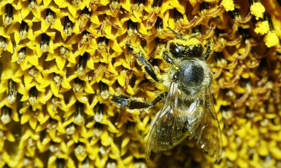 A bee covered in pollen from a sunflower.