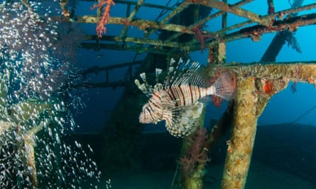 The International Union on the Conservation of Nature (IUCN) has confirmed that lionfish are present in the Mediterranean.