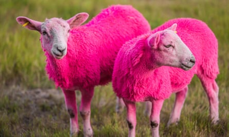 Two of Latitude's pink sheep.