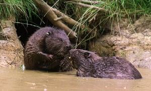 Beavers in 2000, Scotland.