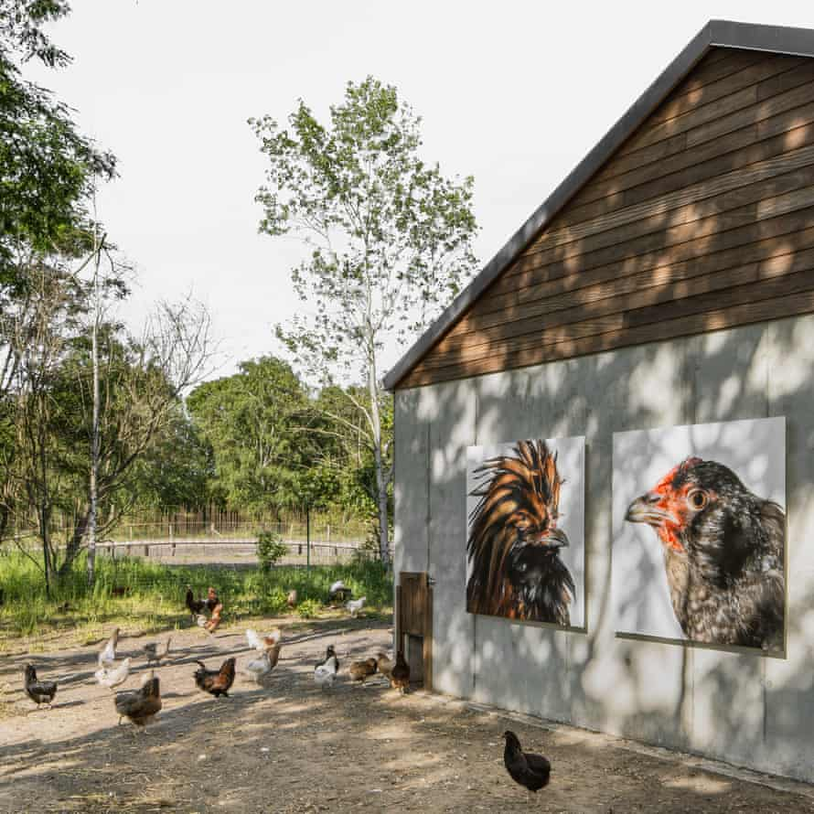 Cosmopolitan chickens in front of their barn at Labiomista, Genk.