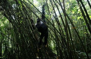 An endangered female high mountain gorilla from the Sabyinyo family climbs down from the bamboo forest within the Volcanoes National Park, northwestern Rwanda