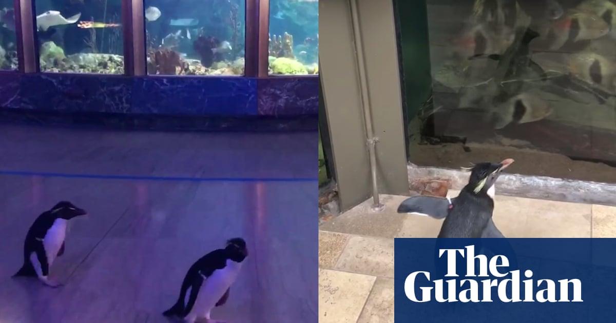 Video of Wellington the penguin exploring empty aquarium is a jolt of joy