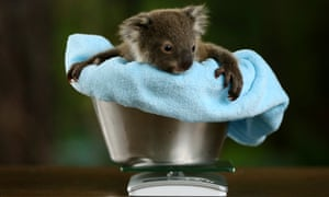 Eight-month-old koala joey Jasper being weighed at Wild Life Sydney zoo in July.