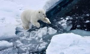 A polar bear jumping on an ice floe in the Arctic Ocean.