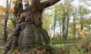 The Big Belly Oak in Savernake Forest
