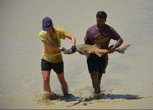 Researchers from Murdoch University and Nyikina Mangala Indigenous rangers attempted to rescue stranded freshwater sawfish in a drying pool on Gina Rinehart's pastoral station in Western Australia