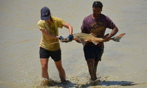 Researchers from Murdoch University and Nyikina Mangala Indigenous rangers attempted to rescue stranded freshwater sawfish in a drying pool on Gina Rinehart's pastoral station.