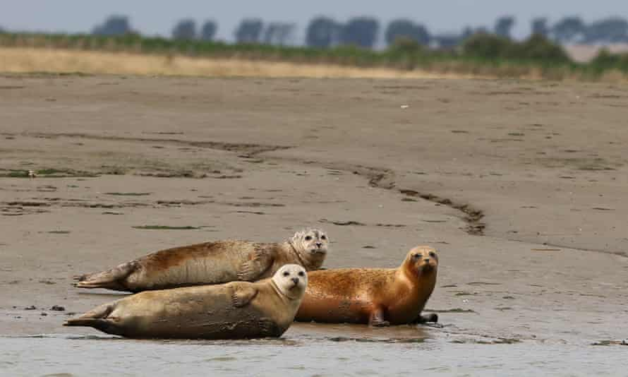 Arf of noise ... Harbour seals near Whitstable, Kent.