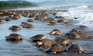 Lora sea turtles leave the sea to lay their eggs in nests at Ostional Beach, Costa Rica