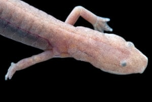 A cave-dwelling grotto salamander from the Ozark mountains of the United States, whose eyes do not function.