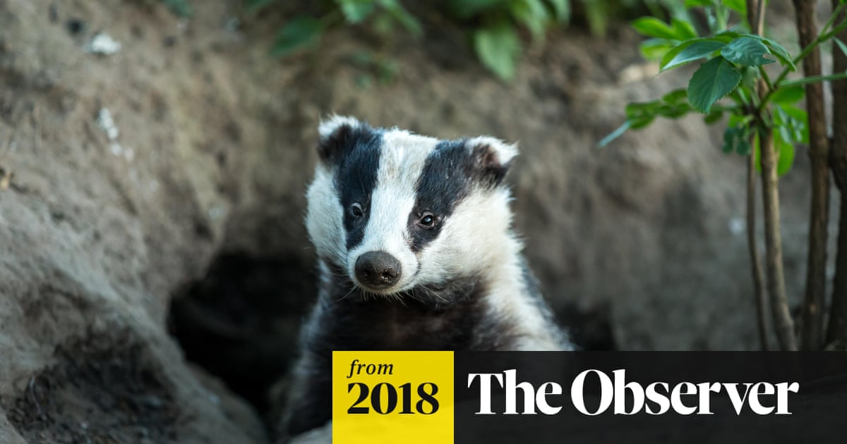 Badger cull faces review as bovine TB goes on rising
