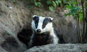 Badger emerging from the badger sett, Yorkshire.