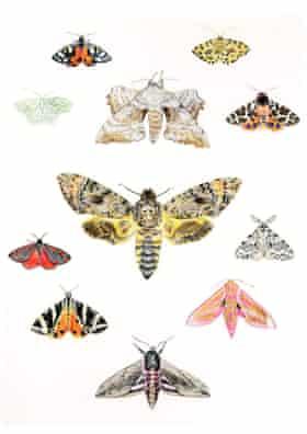 Kate Hill-Lines' drawings of moths