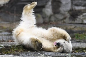 A polar bear cub plays in her enclosure at Tierpark zoo in Berlin