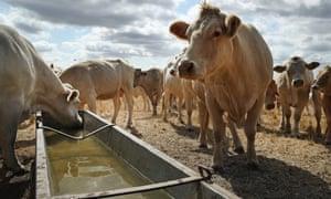 Cows on a drought-stricken farm in Golssen, Germany