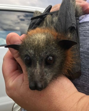 A rescued flying fox in Campbelltown, New South Wales