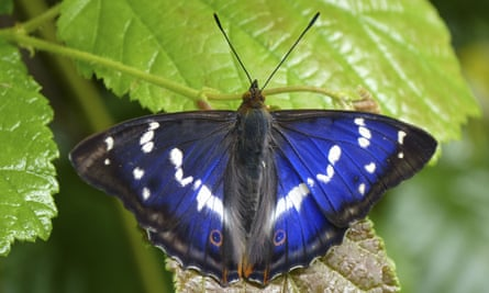 The purple emperor butterfly