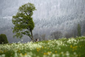 A wind-blown tree in front of a snow-covered forest, in Maienfeld in the canton of Grisons, Switzerland
