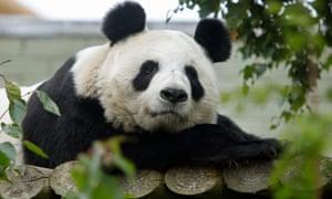 Edinburgh Zoo's panda, Tian Tian
