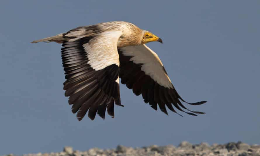An Egyptian vulture caused a birdwatching frenzy in the Isles of Scilly last week.