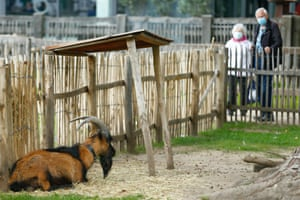 Cologne's mascot Hennes IX is seen in his enclosure at the city's zoo