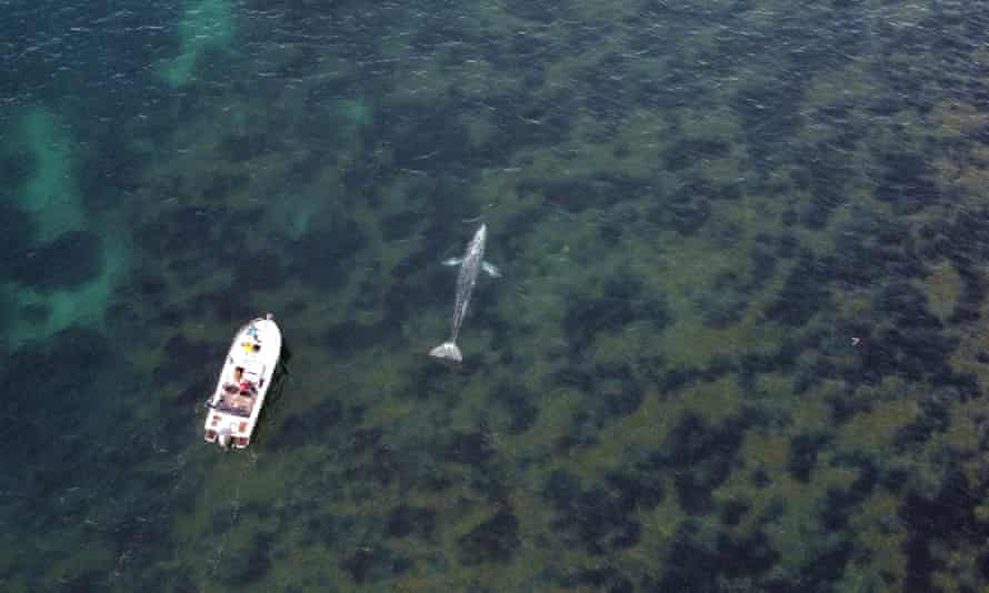 A boat follows a grey whale off the coast of southern France, 30 April.