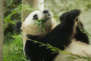 Edinburgh zoo's male giant panda, Yang Guang, who turned 12 this month