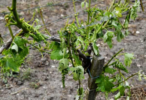 Damaged vines in a vineyard after a storm
