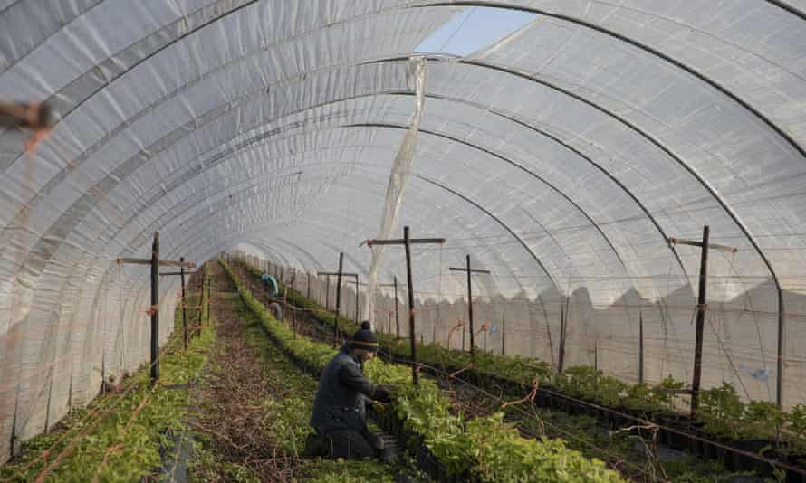 Seasonal worker in polytunnel