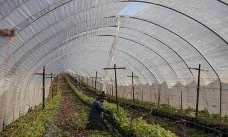 Seasonal worker in polytunnel