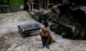 A white-faced capuchin