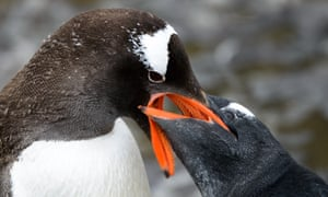 A penguin prepares to regurgitate its food for its young, on March 05, 2015 in South Georgia Island. AN adventurer has documented his 5,000 miles journey aboard a 100-year-old ship, sailing from Argentina to Antarctica to Cape Town.