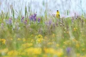 An American goldfinch in grass