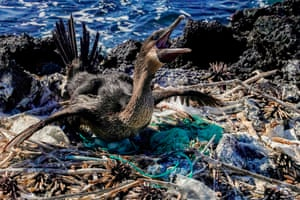 A flightless cormorant sits on her nest surrounded by garbage on the shore of Isabela Island in the Galápagos archipelago