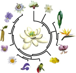 To find out what the ancestral flower may have looked like and trace back the evolution of flowers since then, the new study used the evolutionary tree (here simplified) that connects all living species of flowering plants.