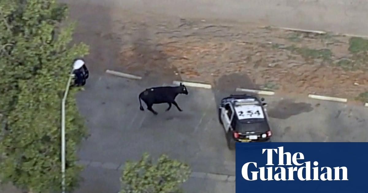 Rawhide and seek: rash of cattle breakouts keep police busy across US