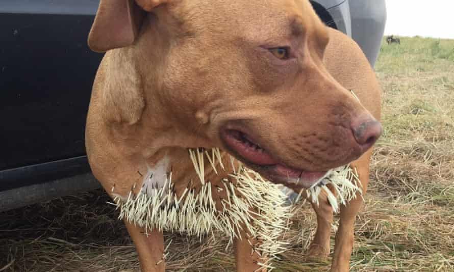 Mahalo's survival was said be a 'miracle' after quills migrated to her lungs and heart.