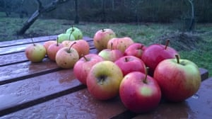 A selection of apples grown in Orchard Park